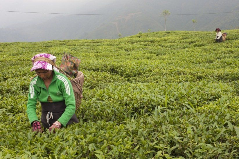 Woman picking darjeeling tea